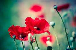 Цветение маков цветков красное на одичалом поле Стоковое Изображение RF
