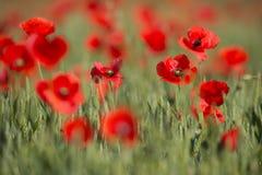 Цветение маков цветков одичалое красное на поле Маки красивого поля красные с селективным фокусом Красные маки в мягком свете Шип Стоковые Изображения RF