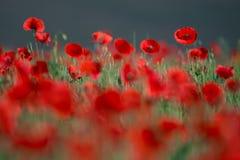 Цветение маков цветков одичалое красное на поле Маки красивого поля красные с селективным фокусом Красные маки в мягком свете Шип Стоковое Изображение