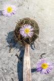 Цветение маргаритки стоцвета цветет травы в старой ретро ложке стоковые изображения rf