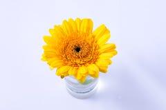 Цветение маргаритки Стоковая Фотография RF