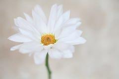 Цветение маргариток цветка белой маргаритки Стоковое Изображение