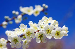 цветение миндалины Стоковое Изображение