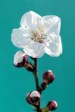 цветение миндалины Стоковые Изображения