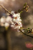 Цветение миндалины, конец-вверх ветви миндалины Стоковая Фотография RF