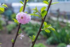 Цветение миндалины Стоковая Фотография RF