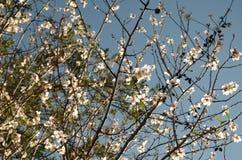 Цветение миндального дерева Стоковые Фотографии RF