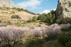 Цветение миндального дерева Стоковые Фото