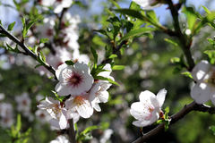 Цветение миндальных деревьев Стоковые Изображения