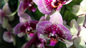 Цветение орхидеи видеоматериал