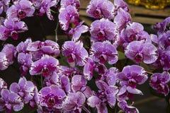 Цветение орхидей Стоковые Фотографии RF