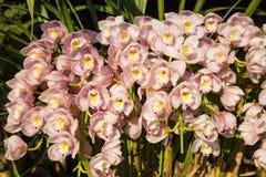 Цветение орхидей Стоковое Изображение