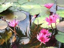 Цветение лотоса, сад за домом Таиланд Стоковое фото RF