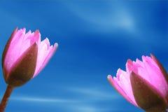 Цветение лотоса свежести Стоковое Изображение RF