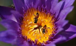 Цветение лотоса Стоковые Фото