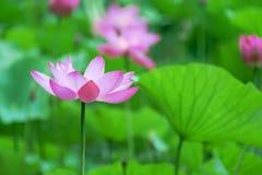 Цветение лотоса Стоковая Фотография RF