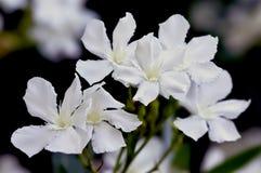 Цветение олеандра Стоковое Изображение