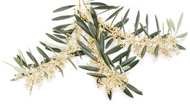 Цветение оливки Стоковое Фото