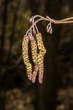 Цветение ольшаника стоковые фото