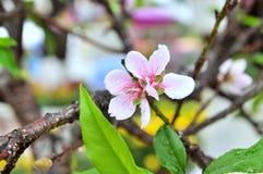 Цветение персика весной в Вьетнаме Стоковое Изображение