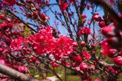 цветение персика в парке стоковая фотография rf