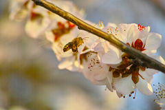 Цветение персика и пчела Стоковая Фотография