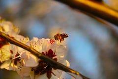 Цветение персика и пчела Стоковое Изображение RF