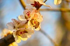 Цветение персика и пчела Стоковое Фото