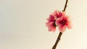 Цветение персика на белизне Стоковая Фотография RF