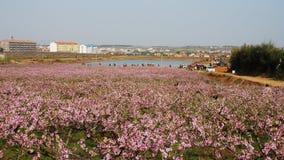 Цветение персика поля Стоковая Фотография RF