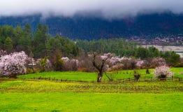 Цветение персика, утро тибетской деревни Стоковые Фотографии RF