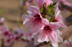 Цветение персика Стоковые Изображения