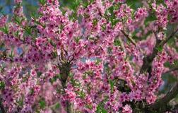 Цветение персика Стоковые Изображения RF