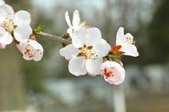 Цветение персика Стоковые Фото