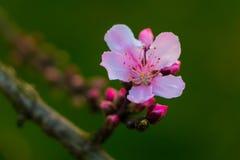 Цветение персика Стоковое Фото