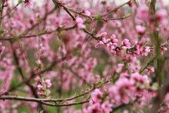 Цветение персика стоковая фотография rf