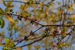Цветение пинка Сакуры Стоковая Фотография
