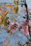Цветение пинка Сакуры Стоковое Фото