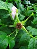 цветение подняло Стоковая Фотография RF