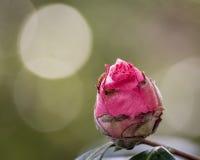 цветение подняло Стоковые Фото