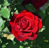 цветение подняло Стоковое Изображение RF