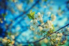 Цветение предпосылки весны Flooral вишневого дерева Стоковые Фото