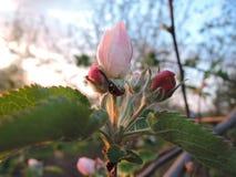 Цветение при ladybug, выравнивая свет Стоковые Изображения RF