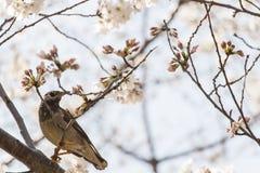 Птица стоя на дереве Сакуры Стоковая Фотография