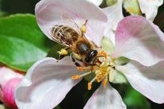 цветение пчелы яблока Стоковые Фото