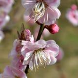 Цветение пчелы и персика Стоковая Фотография