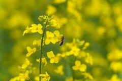 Цветение пчелы и рапса Желтая расплывчатая предпосылка Макрос Стоковое Фото