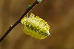 цветение раньше может поскакать верба Стоковая Фотография RF