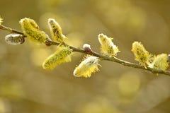 цветение раньше может поскакать верба стоковые изображения