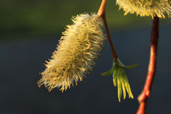 цветение раньше может поскакать верба Стоковое Фото